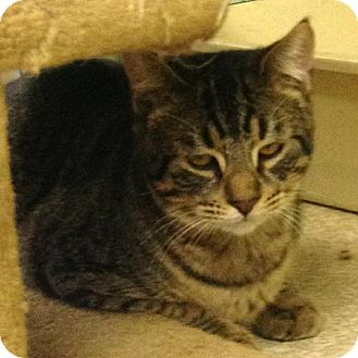 Domestic Shorthair Cat for adoption in Aberdeen, Washington - 15-223-2 Deen