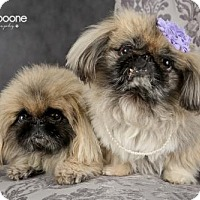 Adopt A Pet :: LOTUS AND BOOBOO - St Paul, MN