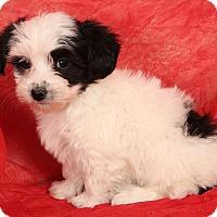 Adopt A Pet :: Jeremiah Shih ton - St. Louis, MO