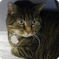Adopt A Pet :: Phoebe Cat - Evans, CO