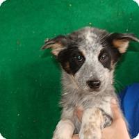 Adopt A Pet :: Fling - Oviedo, FL