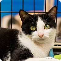 Domestic Shorthair Cat for adoption in Modesto, California - Edith