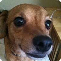 Adopt A Pet :: Henri - Scottsdale, AZ