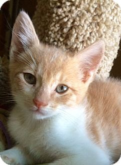 Domestic Shorthair Kitten for adoption in Irvine, California - ARCHIE