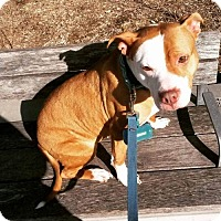American Staffordshire Terrier Mix Dog for adoption in Whitestone, New York - Kimmie