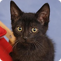 Domestic Shorthair Kitten for adoption in mishawaka, Indiana - Smudge