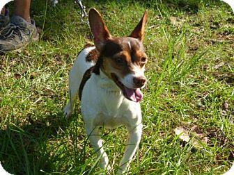 Chihuahua Mix Dog for adoption in Conway, South Carolina - Monty