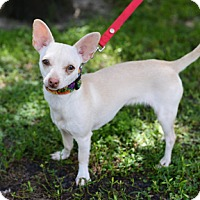 Chihuahua Dog for adoption in Jupiter, Florida - Coco