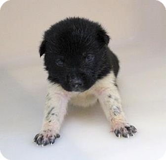 Keeshond Mix Puppy for adoption in Chester Springs, Pennsylvania - Rita