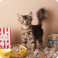 Adopt A Pet :: Therman - Glendale, AZ