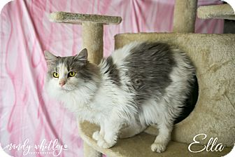 Domestic Mediumhair Cat for adoption in Columbia, Tennessee - Ella**Pending adoption