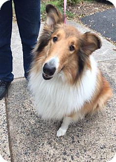 Collie Dog for adoption in Chantilly, Virginia - Lilly