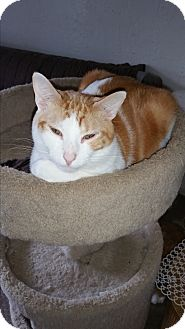 Domestic Shorthair Cat for adoption in Tumwater, Washington - Mickey Mouse