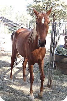 Mustang Mix for adoption in El Dorado Hills, California - Rhett