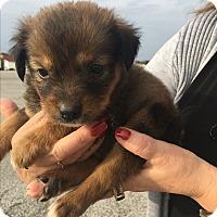 Adopt A Pet :: Bailey - New York, NY