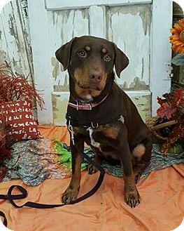 doberdor breed dog breeds picture. Black Bedroom Furniture Sets. Home Design Ideas