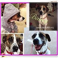 Hound (Unknown Type)/Terrier (Unknown Type, Medium) Mix Dog for adoption in Louisiana, Missouri - Bailey