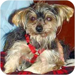 Yorkie, Yorkshire Terrier Mix Dog for adoption in The Villages, Florida - Avery