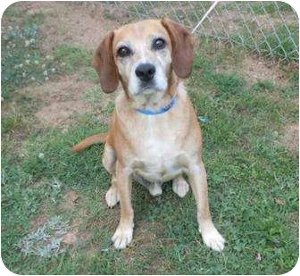 Hound (Unknown Type)/Shepherd (Unknown Type) Mix Dog for adoption in Quentin, Pennsylvania - Pogo is Still Waiting!