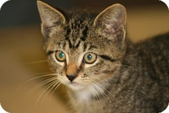 American Shorthair Kitten for adoption in Allentown, Pennsylvania - Noha