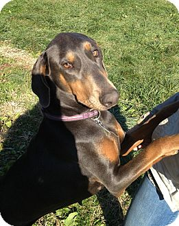 Doberman Pinscher Dog for adoption in New Richmond, Ohio - Gypsy--adopted!!