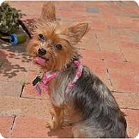 Adopt A Pet :: Bella Rosa - Miami, FL