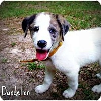 Adopt A Pet :: Dandelion - Richmond, VA