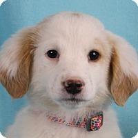 Adopt A Pet :: Clover - Minneapolis, MN