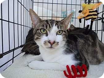 Domestic Shorthair Cat for adoption in Berkeley, California - Dodger