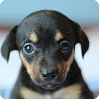 Adopt A Pet :: Chica's Pup- Kennedy - Romeoville, IL
