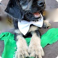 Adopt A Pet :: Little Chef - San Diego, CA