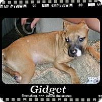 Adopt A Pet :: Gidget Adoption pending - Manchester, CT
