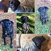Adopt A Pet :: Piper - Pitt Meadows, BC