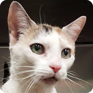 Calico Cat for adoption in New York, New York - Sissy