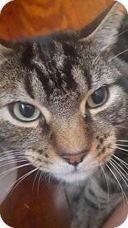 Domestic Shorthair Cat for adoption in New Bedford, Massachusetts - King