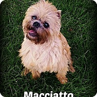 Brussels Griffon Dog for adoption in Denver, Colorado - MACCIATO - Brighton, Colorado
