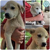 Adopt A Pet :: Ridge - Kimberton, PA