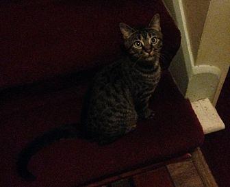 Domestic Shorthair Kitten for adoption in Toledo, Ohio - Oscarlina