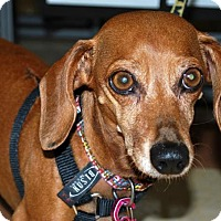Dachshund Dog for adoption in Madison, Alabama - Scarlet Foxy