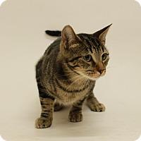 Domestic Shorthair Cat for adoption in Sedona, Arizona - Summer