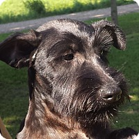 Scottie, Scottish Terrier Mix Puppy for adoption in Preston, Connecticut - Iggy Pending