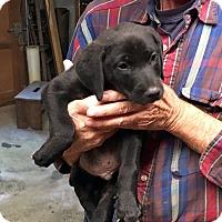 Adopt A Pet :: Cody - Marion, NC