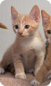 Domestic Shorthair Kitten for adoption in DuQuoin, Illinois - Catrick Swayze