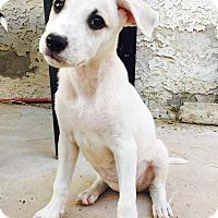 Adopt A Pet :: Kylie - Las Vegas, NV
