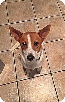 Jack Russell Terrier/Shepherd (Unknown Type) Mix Dog for adoption in Albertville, Minnesota - Foxy