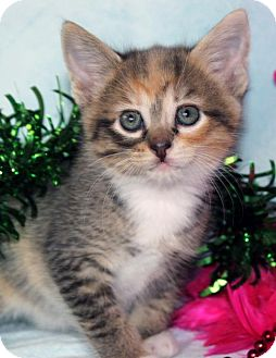 Domestic Shorthair Kitten for adoption in San Jose, California - Buttercup