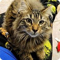 Adopt A Pet :: Cat-CaptainFluffypants - Denver, CO
