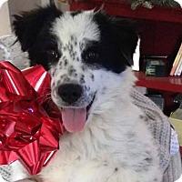 Adopt A Pet :: Dottie - Maple Grove, MN