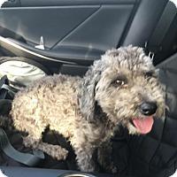 Adopt A Pet :: Capone - Thousand Oaks, CA