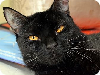 Hemingway/Polydactyl Cat for adoption in Brooklyn, New York - Jazzy